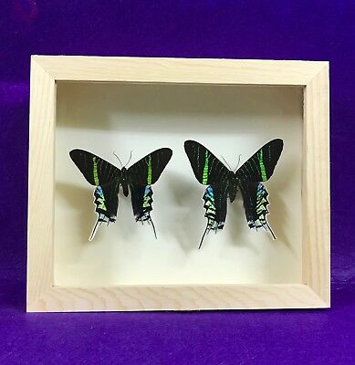 Real Framed Butterfly Urania leilus Taxidermy Insects entomology