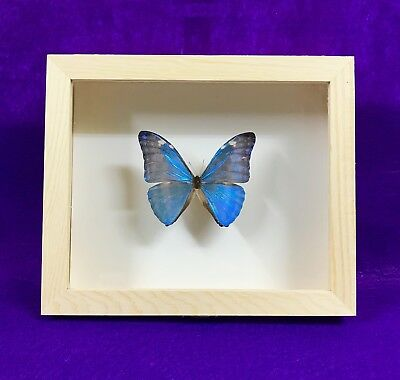 Real Framed Butterfly Morpho Marcus Taxidermy Insects