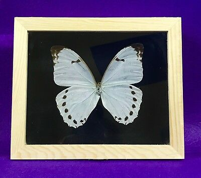 Real Framed Butterfly - morpho luna - Taxidermy Insects