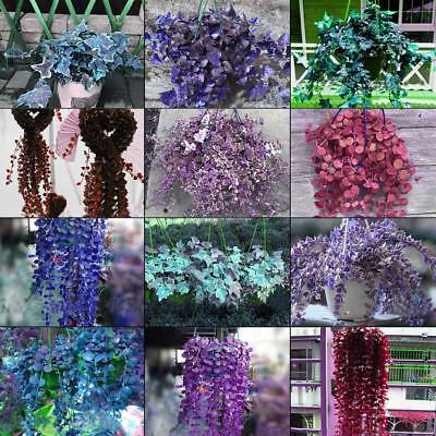 Rare Ivy Flower Seeds Garden Potted Air Purification for Wedding Party OK 03