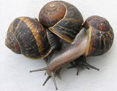 8 SNAILS, HELIX ASPERSA MULLER, ALIVE, ADULTS, PERFECT PETS FOR KIDS, 3 cm