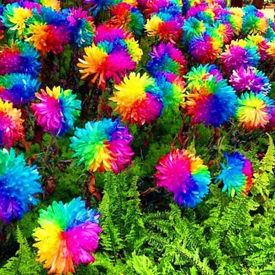 new arrival 100 pcs rare real Rainbow Chrysanthemum Flower Seeds, mixed color