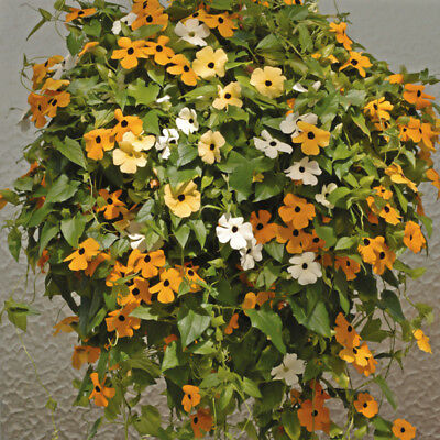 5 pcs Thunbergia (Thunbergia Alata) flower bonsai seeds