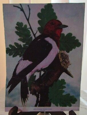 "Antique Magazine Print ""Red-Headed Woodpecker"" - 1900 - 8 X 6"