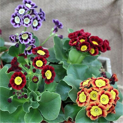 Perennial 150 seeds from bonsai_seeds - Primrose Gold Lace MIX #11050