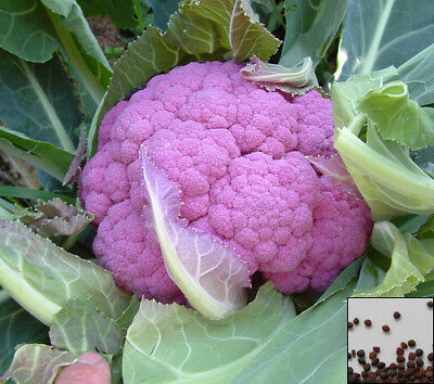 Vegetable 50 seeds from bonsai_seeds - DI SICILIA VIOLETTO - PURPLE CAULIF#11060