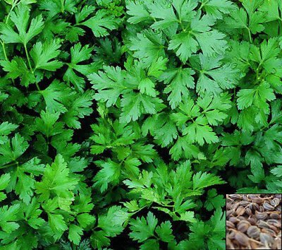 Herb 3300 seeds from bonsai_seeds - Italian Giant - PARSLEY FLAT #11064
