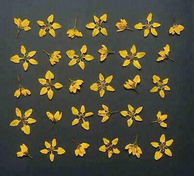 Cute Natural Yellow Pressed Flowers with Stems Art Lot Dried Floral DIY Decors