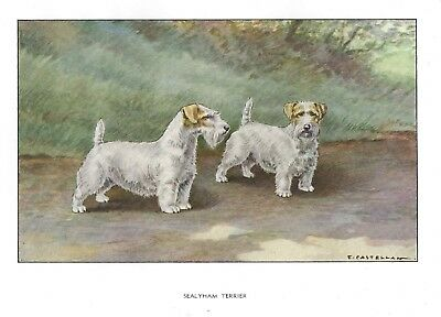 Rare 1930 Art Watercolor Castellan France Dog Portrait Print SEALYHAM TERRIER