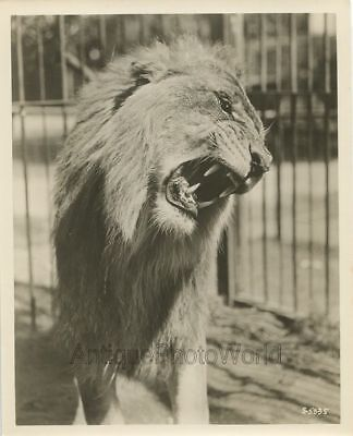 Roaring Ringling circus lion antique wild animal vintage photo