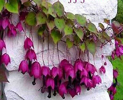 Annual 12 seeds from bonsai_seeds - Great for hanging basket - PURPLE BELL#11075