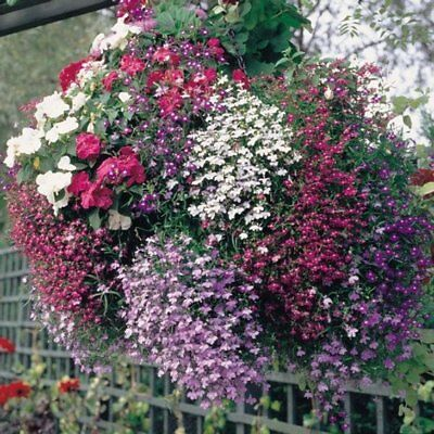 "50+ Lobelia ""color Cascade Trailing Early Mix"" Flower Seeds, Perennial , Easy !"