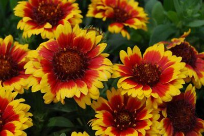 50+  Gaillardia Aristata Dazzler, Blanket Flower Seeds / Perennial/ Long Season