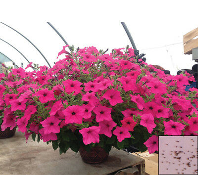 Annual 1000 seeds from bonsai_seeds - VOLET BALCONY FLOWER - PETUNIA #11078