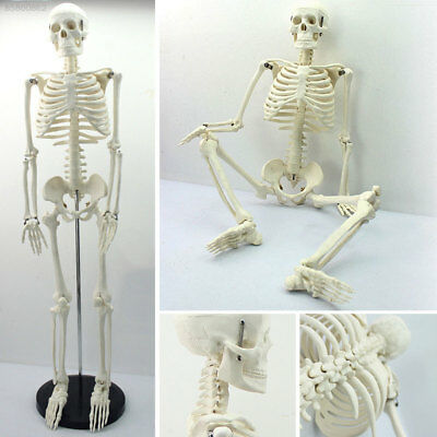 A2F2 Full Body PVC 45CM Human Anatomy Skeleton Medical Teaching Mould Collectibl