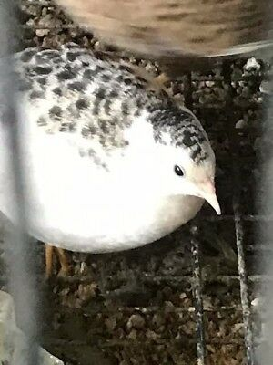 30+ Button Quail Hatching Eggs Assorted Colors  Some Rare NPIP