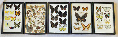 5 VTG Mounted Butterfly Specimen Displays Insects Taxidermy
