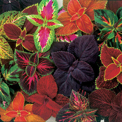 RAINBOW COLEUS FLOWER SEEDS, Bright Victorian Florals for Shade Gardens