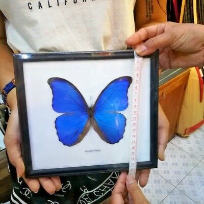 Butterfly BLUE MORPHO DIDUS Taxidermy Insect Specimen Display Frame Gift