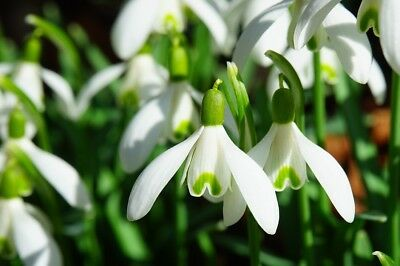 100 Single Snowdrops In the Green - Galanthus Nivalis - FREE P&P