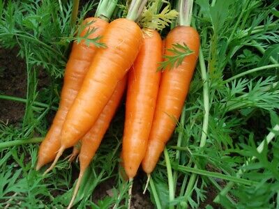 200 pcs Carrot F1 Hybrid Daucus carota vegetable seeds