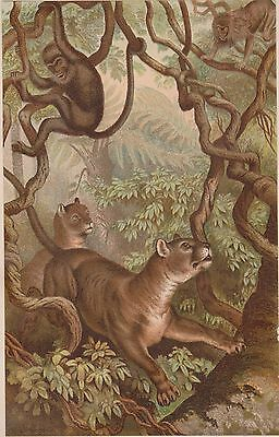 Animate Creation - 1885- Puma - Chromolithograph by Prang - Selmar Hess