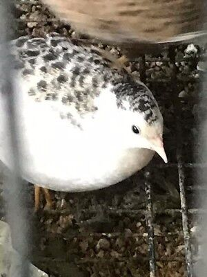 12+ Button Quail Hatching Eggs Assorted Colors  Most are Rare NPIP