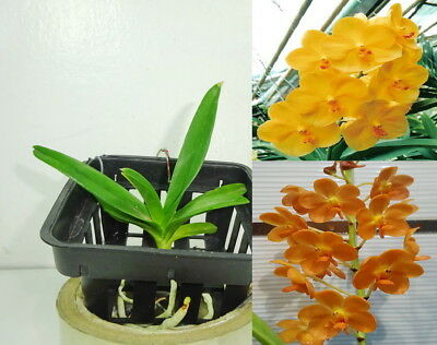 Potted VANDA CHANACHAI GOLD x BANGKHUNTIAN GOLD, Orchid Plant, Garden