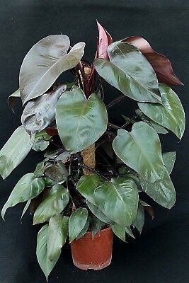 """Philodendron erubescens""""royal queen"""""""