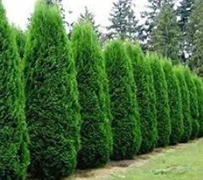 75 ** Thuja Arborvitae Tree Cedar Seeds  Evergreen Fast Growing Trees