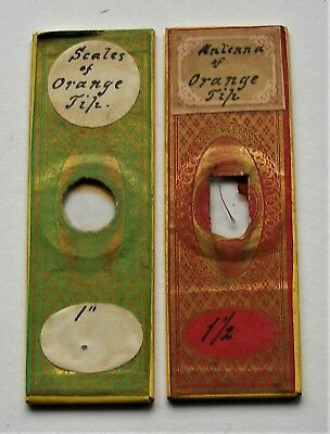 PAIR  Antique   MICROSCOPE SLIDES of ORANGE TIP BUTTERFLY  SCALES & ANTENNA