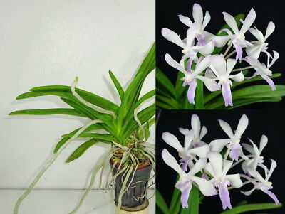 Potted NEOSTYLIS LOU SNEARY, Orchid Plant, Rare, Yard, Garden