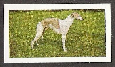 1961 Dog Photo Full Body Study in Landscape Hornimans Tea Trade Card WHIPPET
