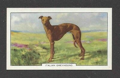 1938 UK Dog Art Body Gallaher Second Series Cigarette Card ITALIAN GREYHOUND