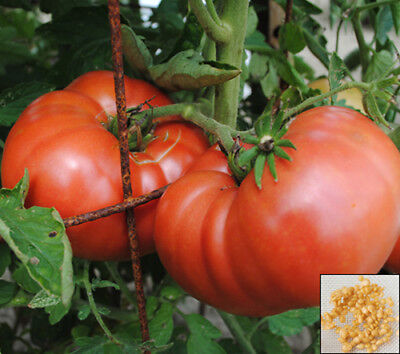 Vegetable 300 seeds from bonsai_seeds - PINK SUPER KING - LARGE TOMATO #11220