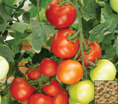 Vegetable 30 seeds from bonsai_seeds - HARDY F1 - TOMATO #11243