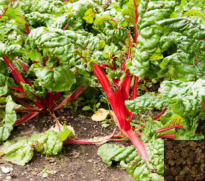 Vegetable 350 seeds from bonsai_seeds - SWISS CHARD RHUBARB RED #11245