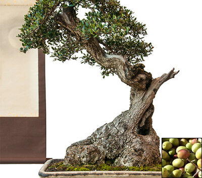 Bonsais 25 seeds from bonsai_seeds - OLIVE TREE - Excellent for Bonsai #11252