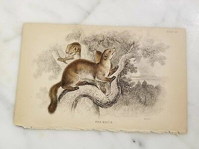 Antique Book Plate Lithograph of Pine Martin