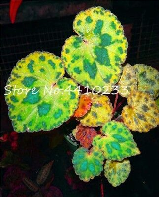 Rainbow Bonsai Coleus Seeds Plants Flowering Potted Balcony Beautiful 20pcs
