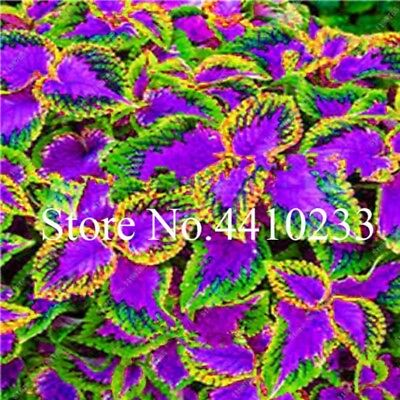 Real Rainbow Coleus Seeds Plants Blumei Bonsai Foliage Color Rare Mix 150pcs