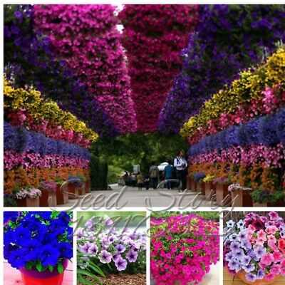 Hanging Petunia Bonsai Seeds Plants Waves Flowers Beautiful Color Mixed 100pcs
