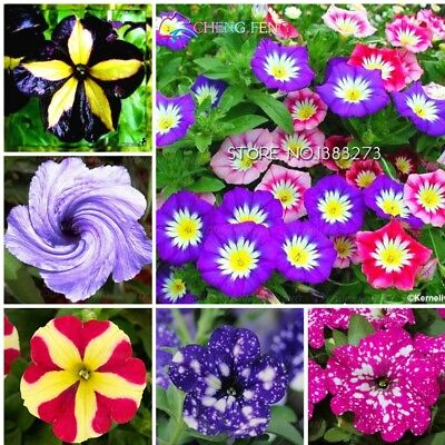 Great Bright Petunia Seeds Plants Bonsai Colors Flower Morning Mixed 200pcs