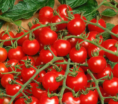 Vegetable 50 seeds from bonsai_seeds - CHERRY TOMATO CHARMANT F1 #11281