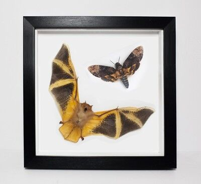 REAL Painted Bat in Framed- Taxidermy, Fire, Insect, Orange, Oddity, Curiosity