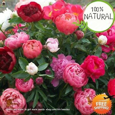 Bonsai Chinese Peony Seeds Plants Ing Greenery Flowers Outdoor Rare 20pcs