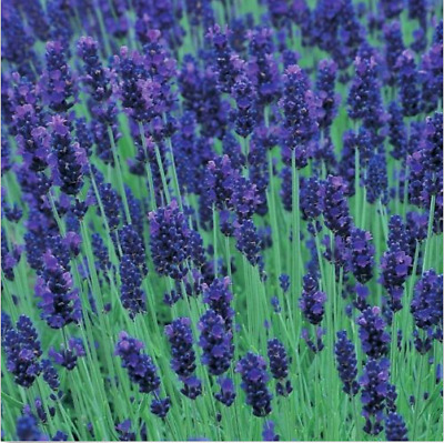 200 pcs Lavender Seed, Heirloom Perennial Herb Seeds