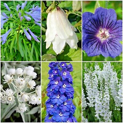6 Cottage Garden Herbaceous Perennial Plant Collection in Cool Blues and Whites