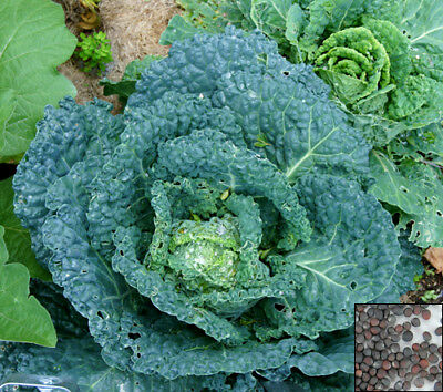 Vegetable 1100  seeds from bonsai_seeds - ITALIAN SAVOY CABBAGE #11322
