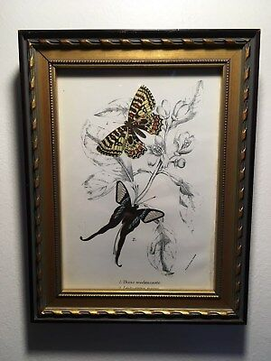 Framed Antique 1890's Color Lithograph of Butterflies,(Wyman and Sons)Beautiful!